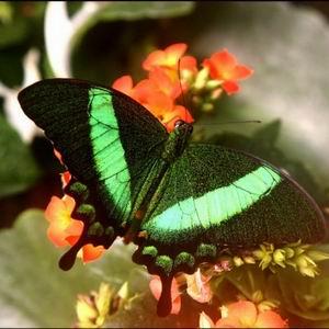 Фото №1 - Бабочек погубило любопытство