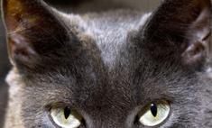Описание и характер кошек породы нибелунг