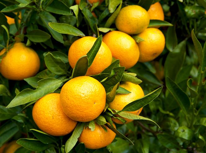 Фото №3 - Фото-гид по мандаринам: какие сладкие, какие нет, как выбирать и хранить (плюс три рецепта)