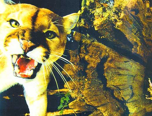 Фото №1 - За Билли следят из Нью-Йорка, или революция в зоологическом саду