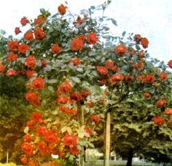 Фото №2 - Имя для розы