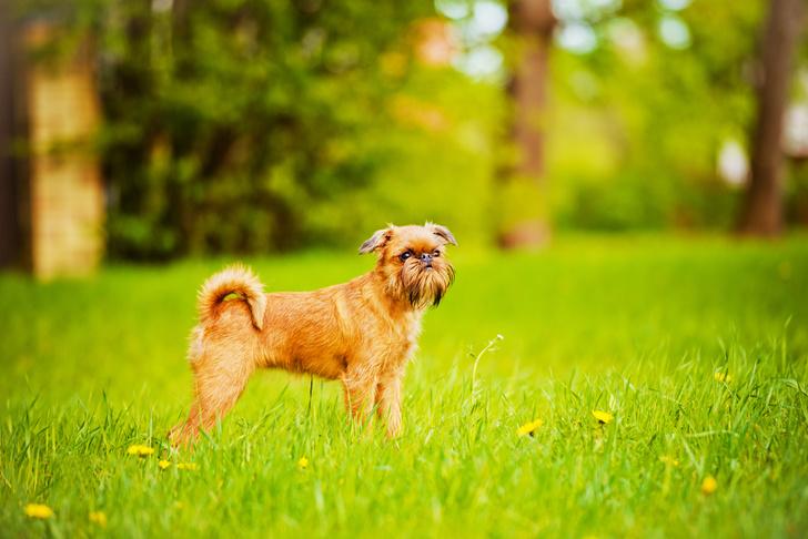 Фото №1 - 15 пород собак, которые не линяют