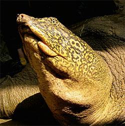 Фото №4 - Вьетнамская черепаха Ким Куи