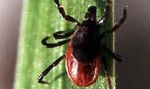 Фото №1 - Половина клещей в Ленобласти заражены боррелиями и вирусом энцефалита
