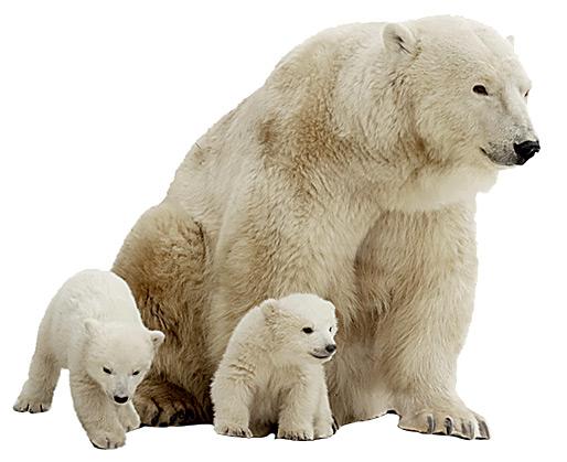 Фото №5 - Ясли белых медведей