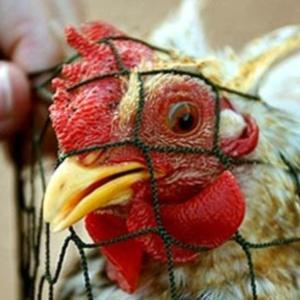 Фото №1 - Птиц прививают от гриппа