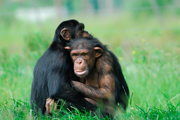 Фото №1 - Шимпанзе знакомы с правилами «этикета»