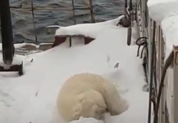 Фото №1 - Мурманским морякам пришлось приостановить работы из-за взобравшегося на судно медведя (видео)