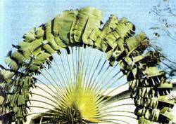 Веерная пальма «коко де мер».