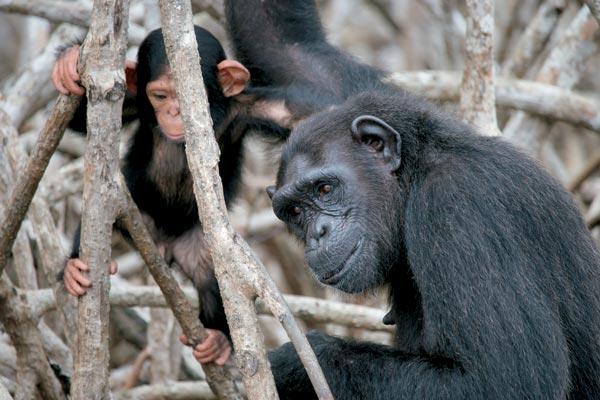 Фото №1 - Конкуати-Дули — территория шимпанзе